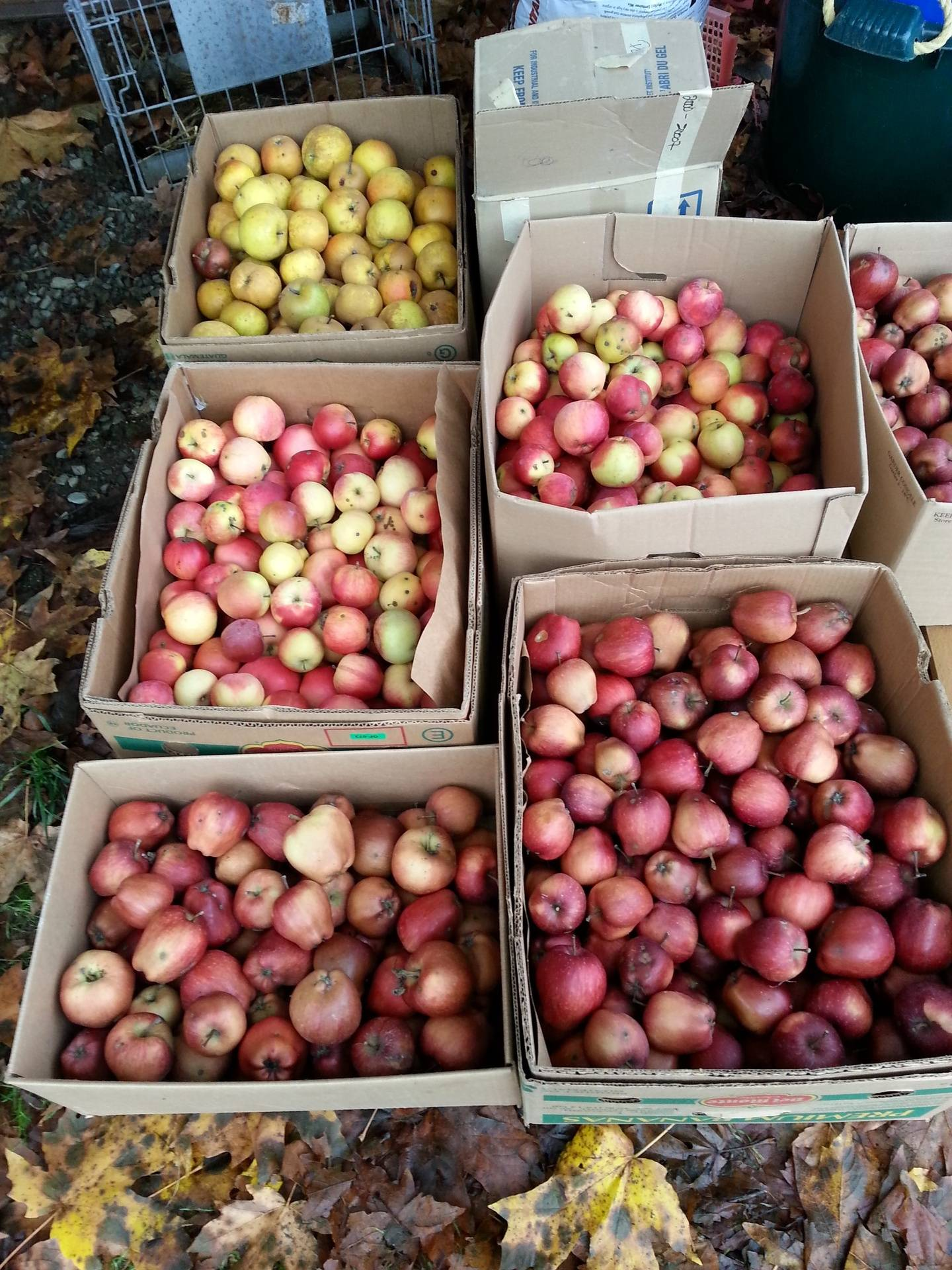 All kinds of delicious apples
