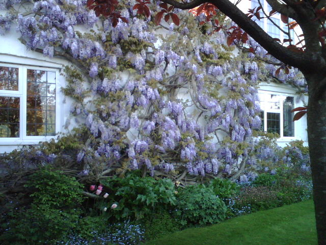 The Wysteria in the spring
