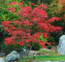 Acer japonico