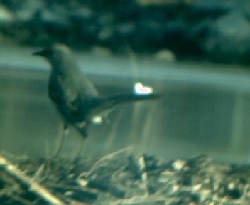 Mockingbird at Sherman Creek