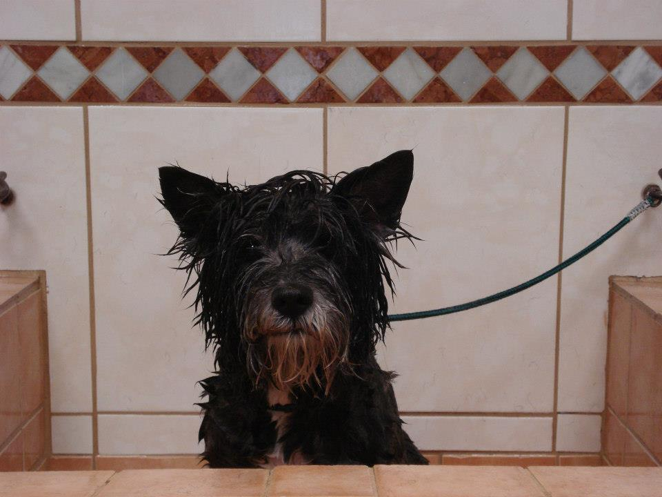 kr.Cairn Terrier in bad.