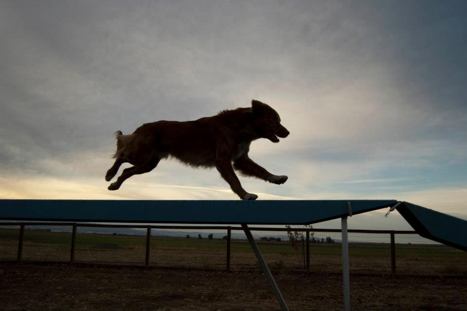 Pint runs agility too!