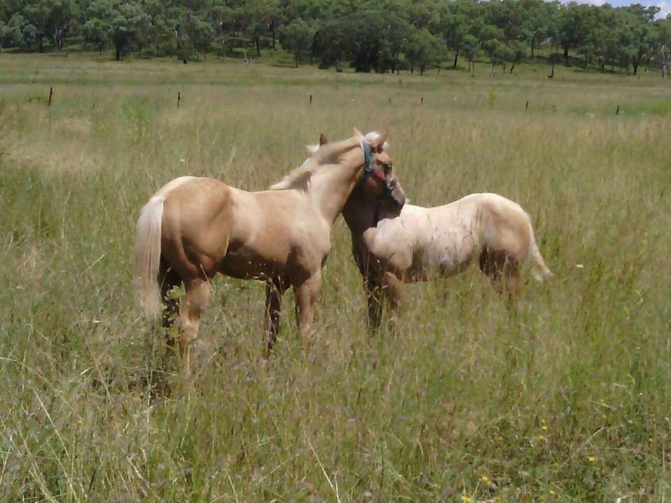 LND Lastnightslegacy (AQHA)left now 6mths old and LND Madetoorder (PHAA) 4 mths old doing the sister thing.