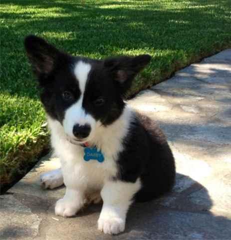 Darby puppy