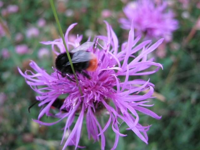 Orange Tipped Bumble Bee