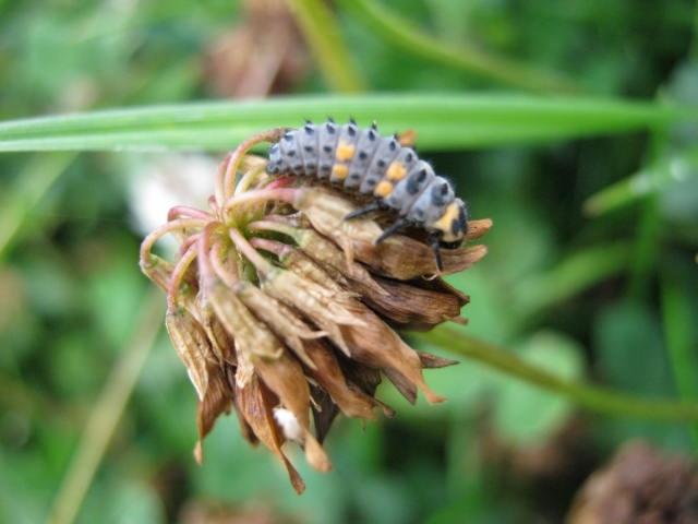 Seven Spot Ladybird Larvea
