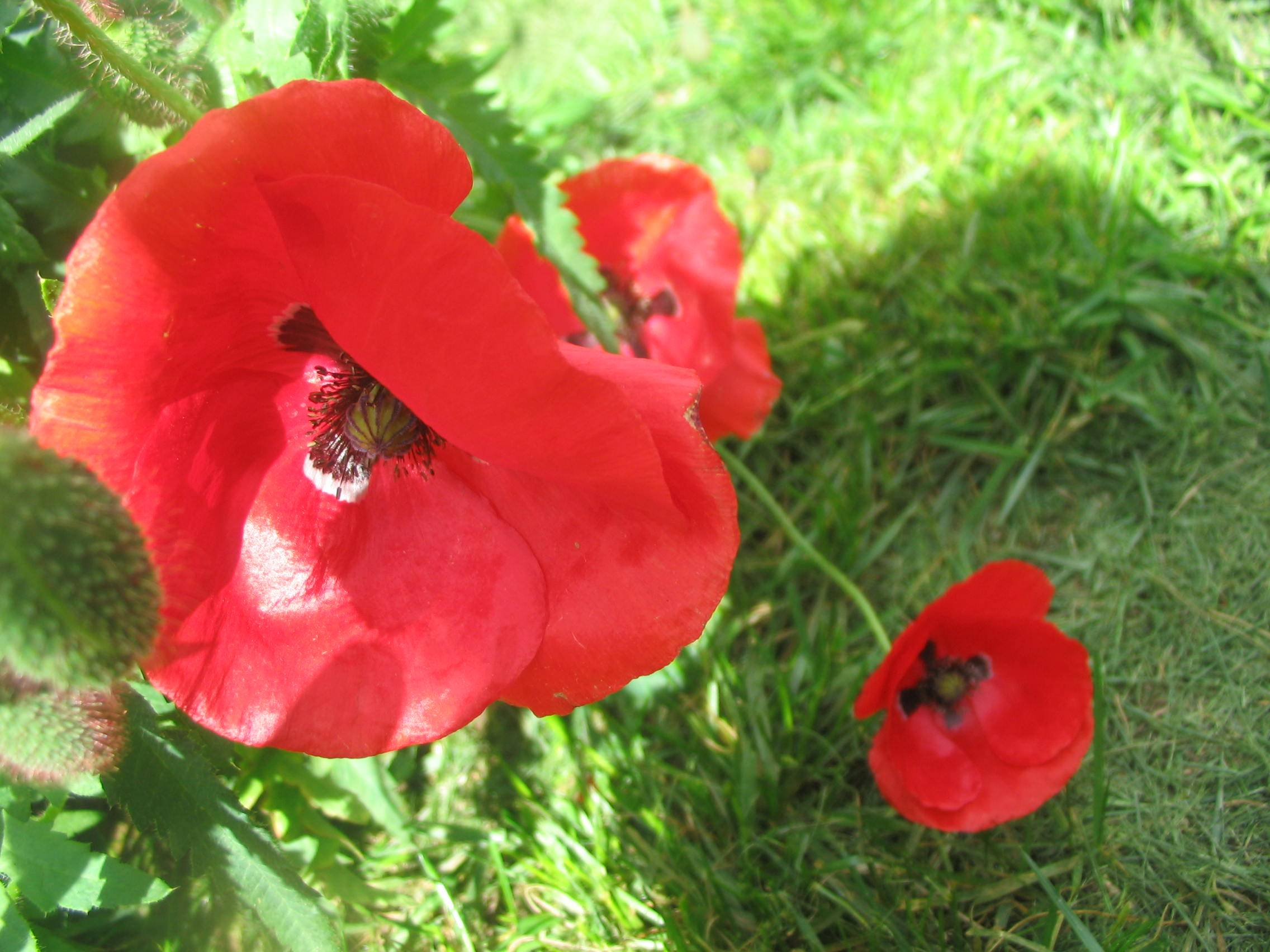 I love Fanders poppies, I wonder if you can eat them ;)