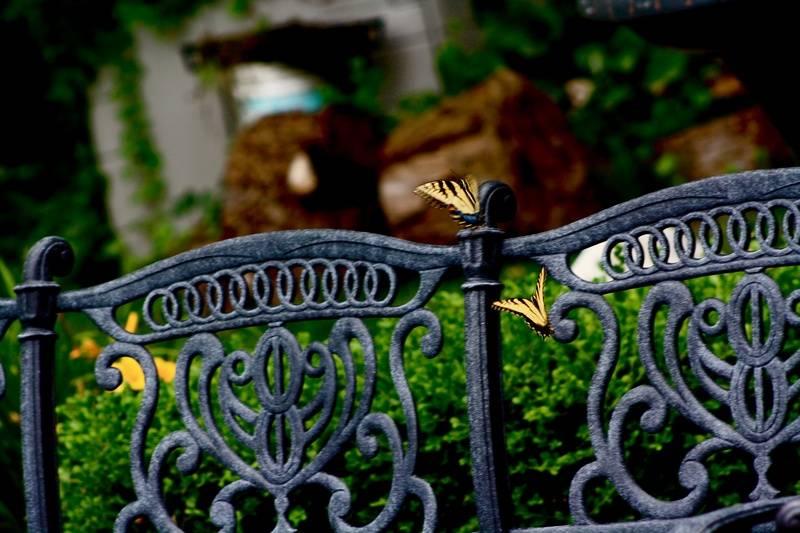 Two butterflies mid-air again
