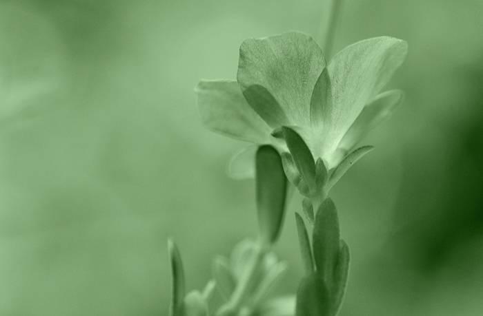Booi flower