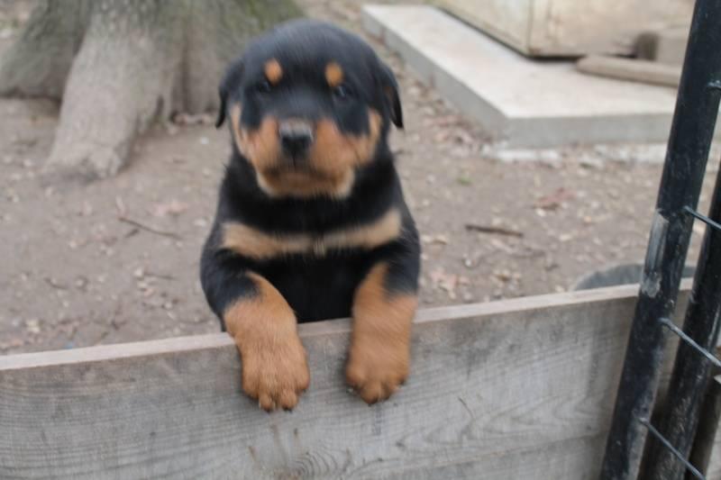 Brook puppy