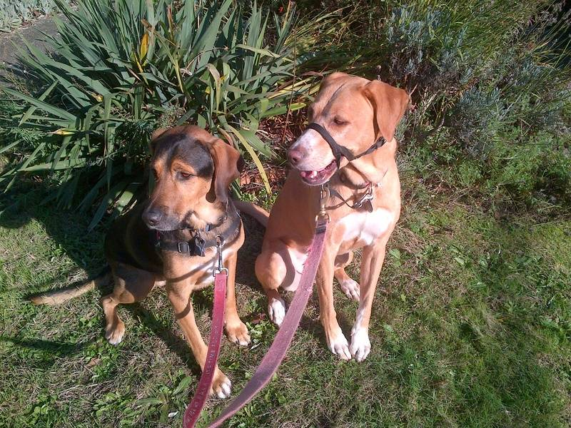 Gunnar hound mix & Gracie lab mix