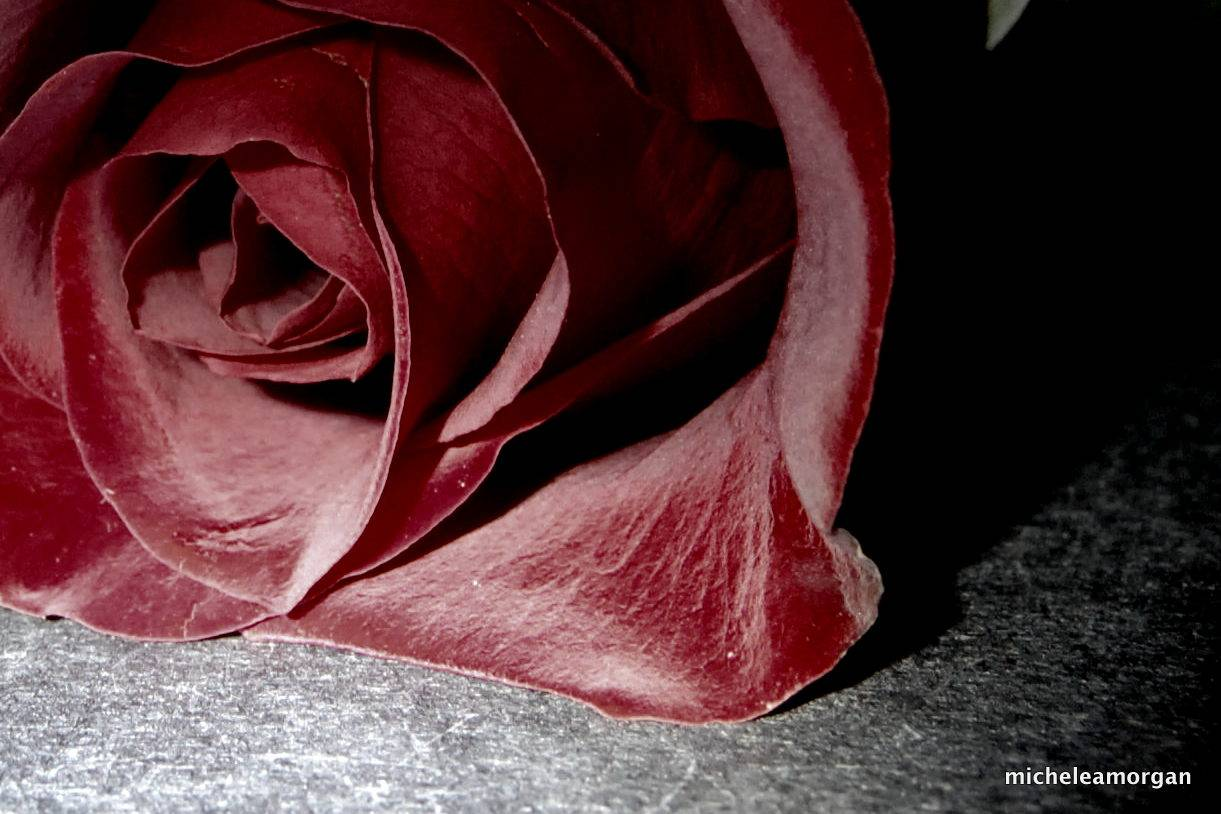 The quiet rose