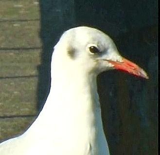 Black Headed Gull - winter plumage