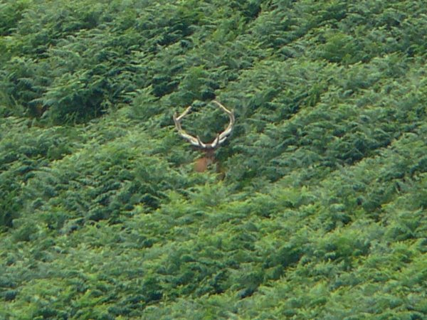 Red Deer Stag - 6 yr old