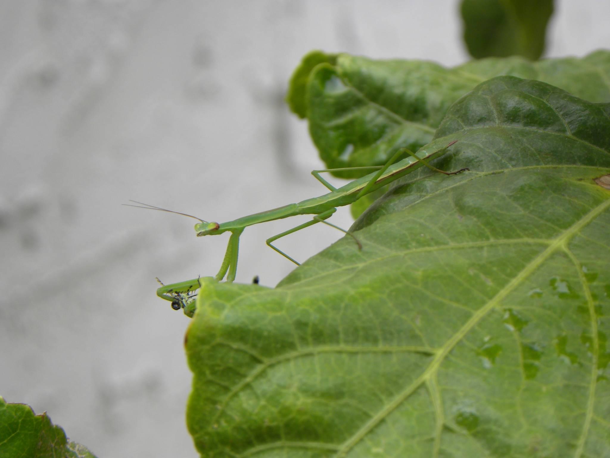 Praying Mantis Eating Breakfast