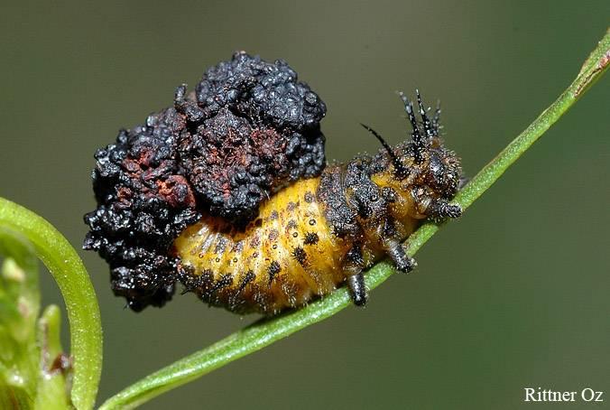 Anacassis exarata (Boheman,1854)