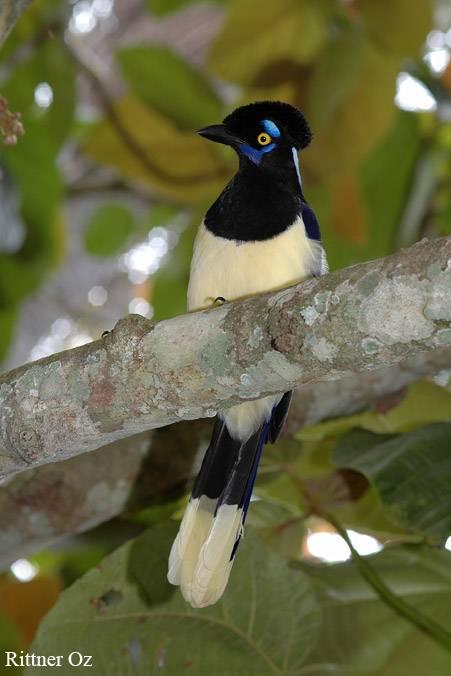 Cyanocorax chrysops (Urraca Comun - Plush Crested Jay)