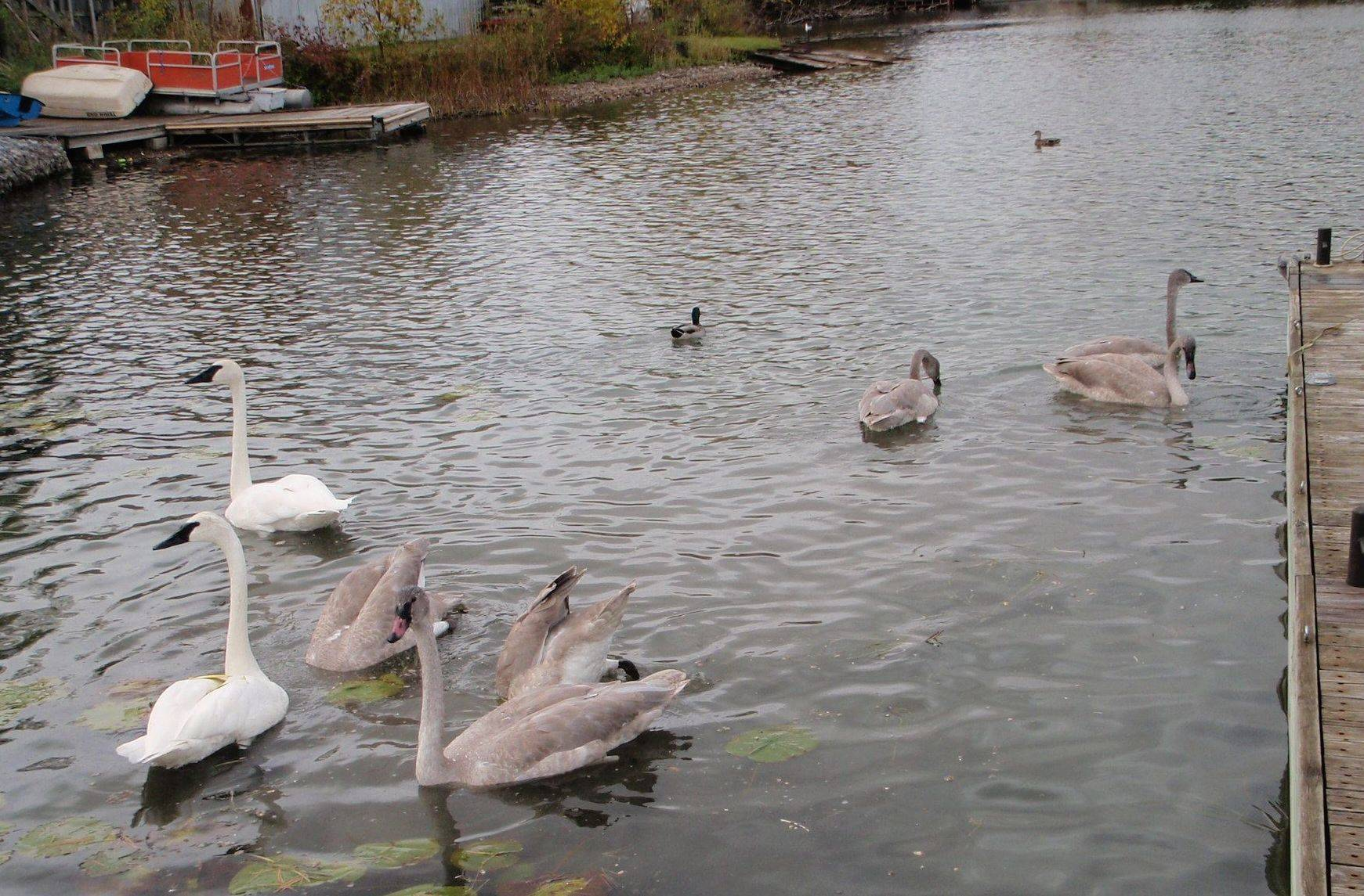 Eight swans aswimming
