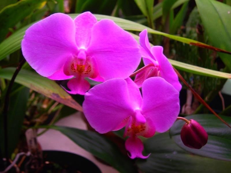 Phal. schilleriana