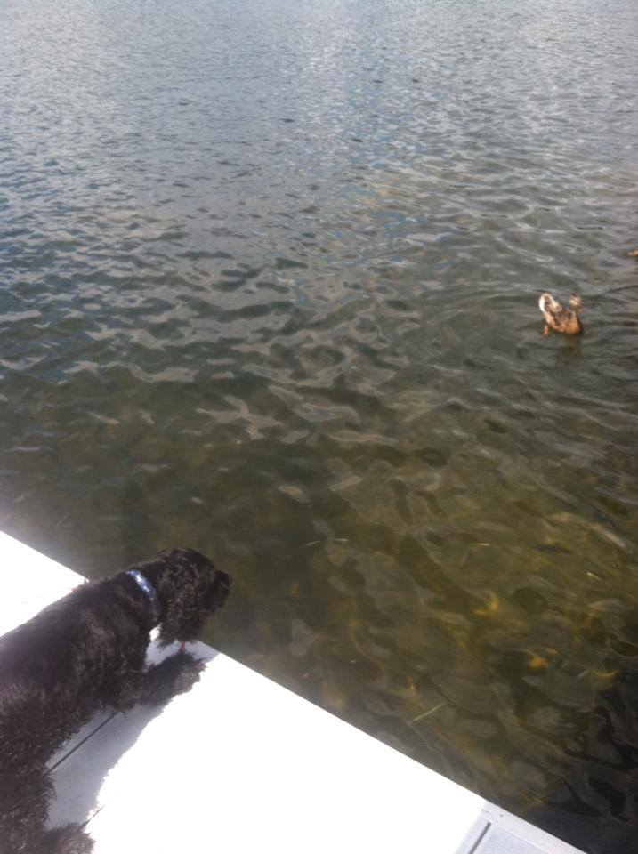 Barking at the ducks