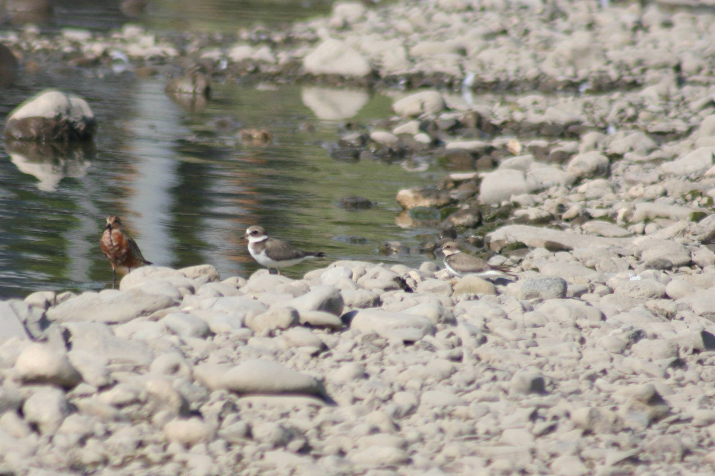Curlew Sandpiper and Little Ringed Plovers