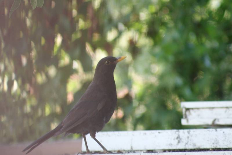 European Blackbird