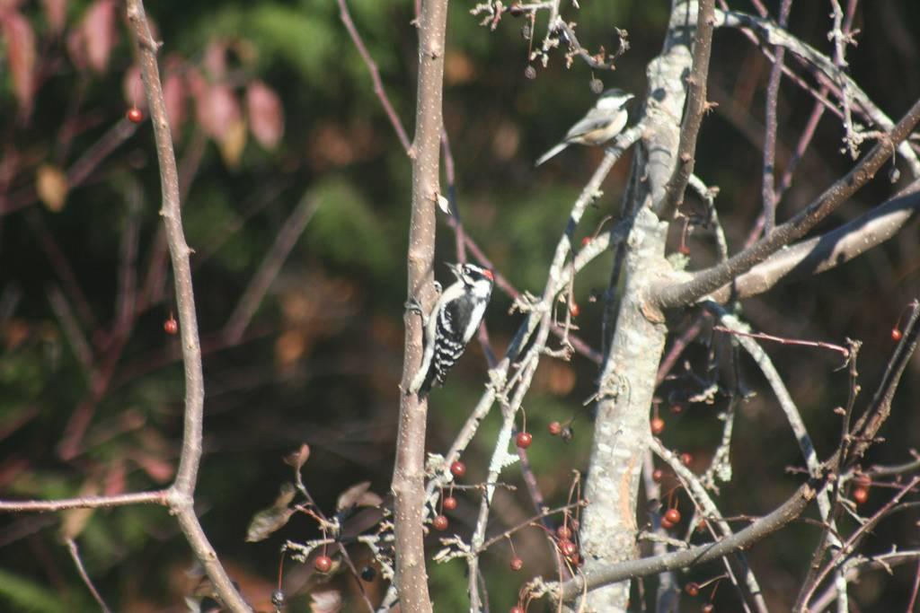Downy Woodpecker and chickadee
