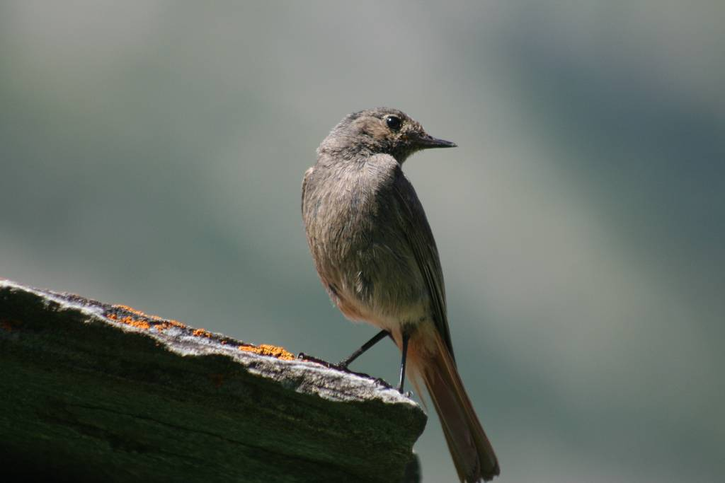 Female Black Redstart
