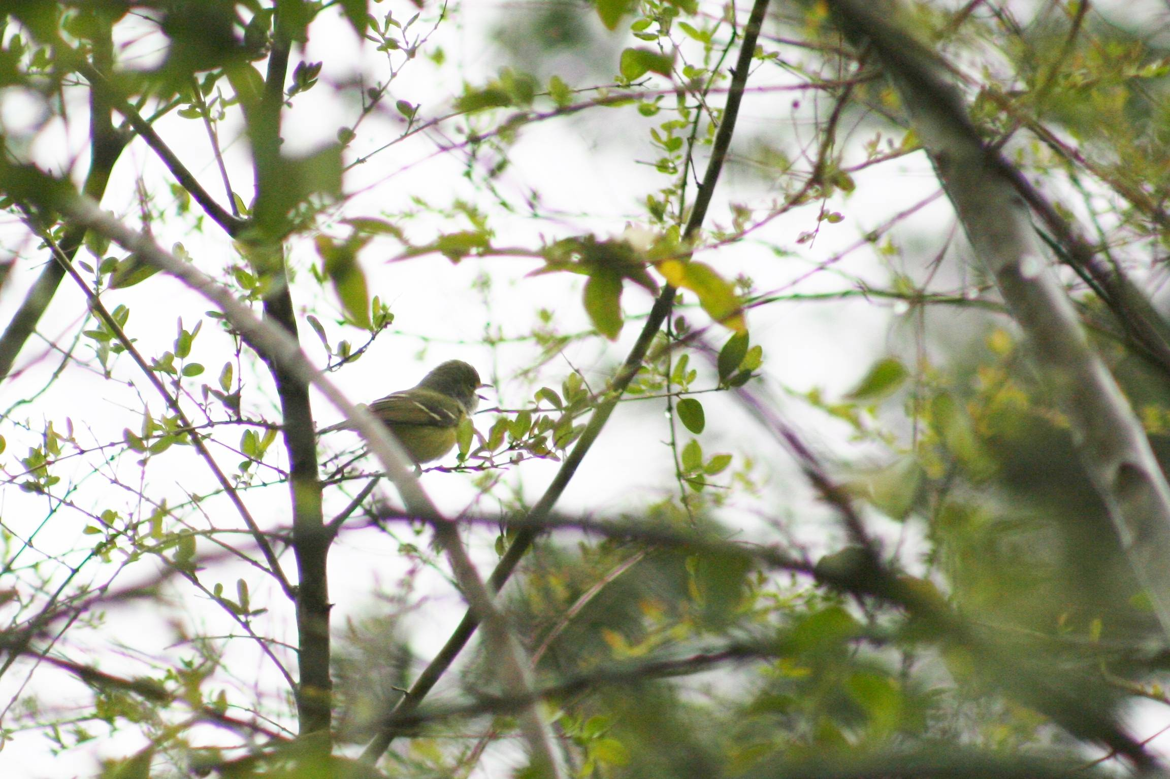 White-eyed Vireo Singing
