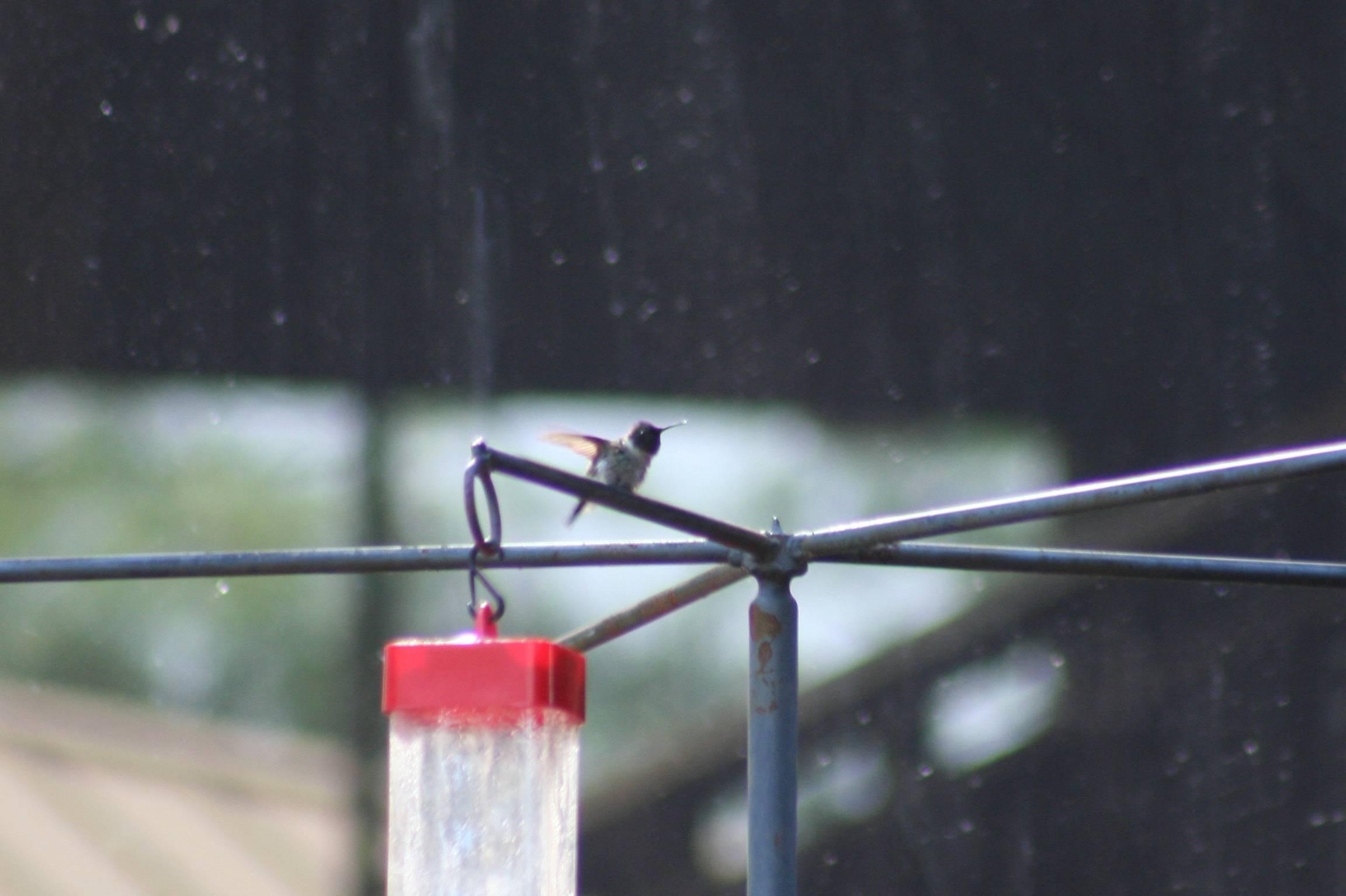 Ruby-throated Hummingbird- FOY