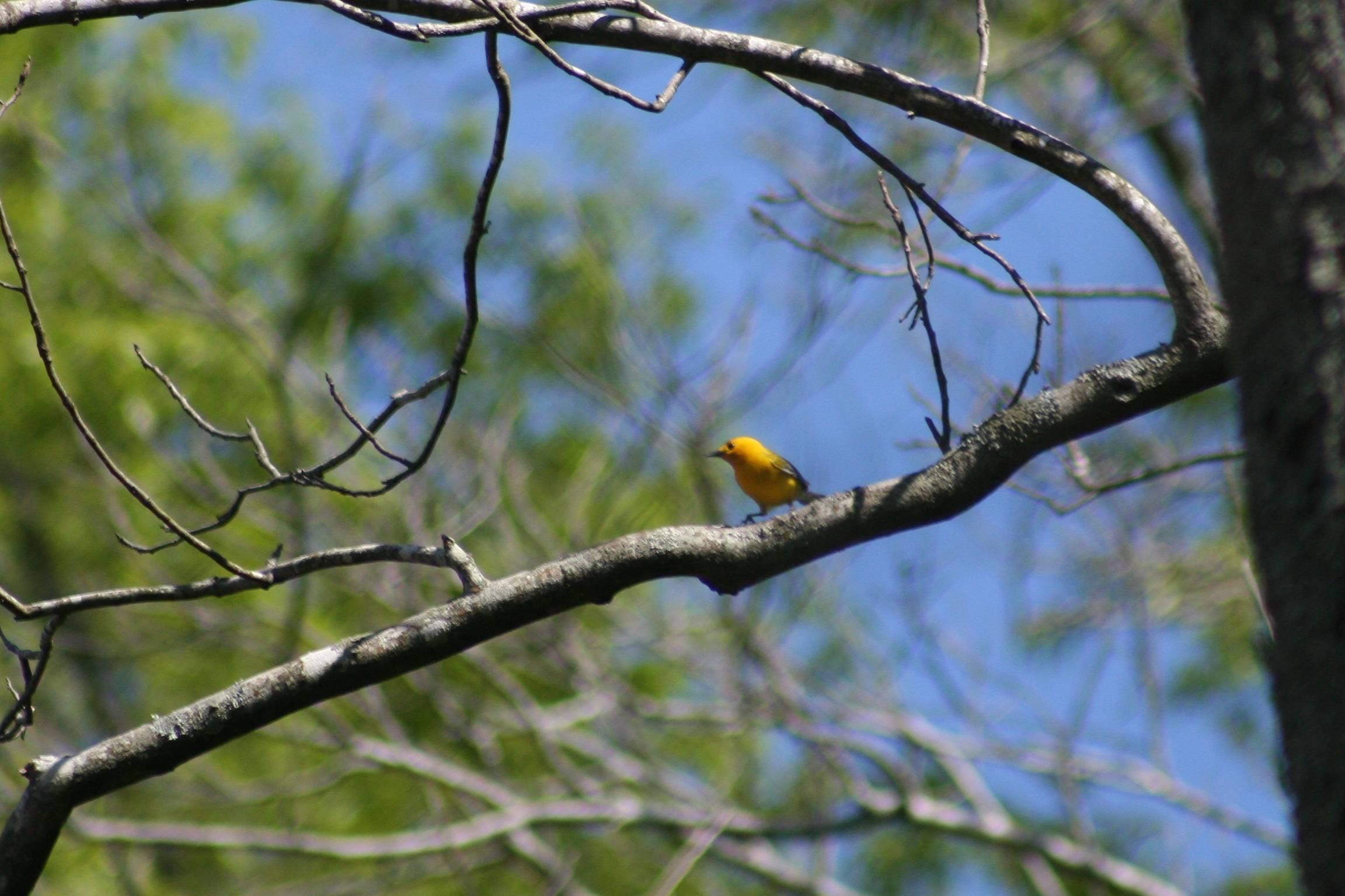 Proth- er, Golden Swamp-Warbler