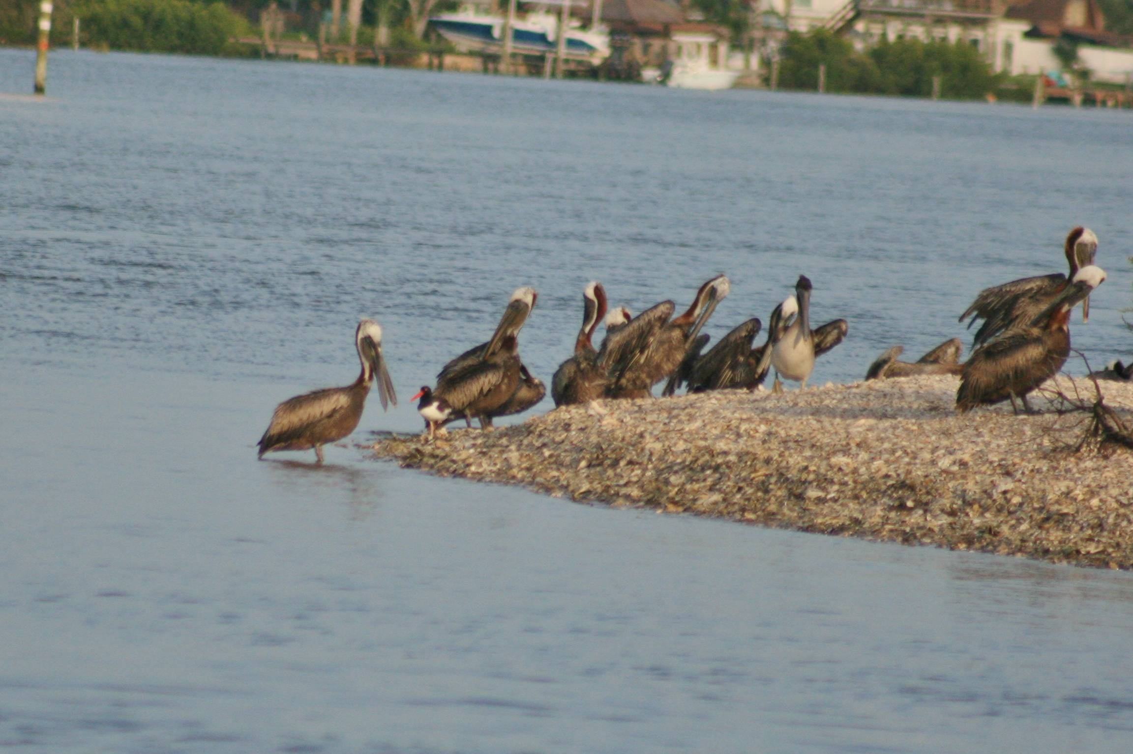 Brown Pelicans and American Oystercatcher