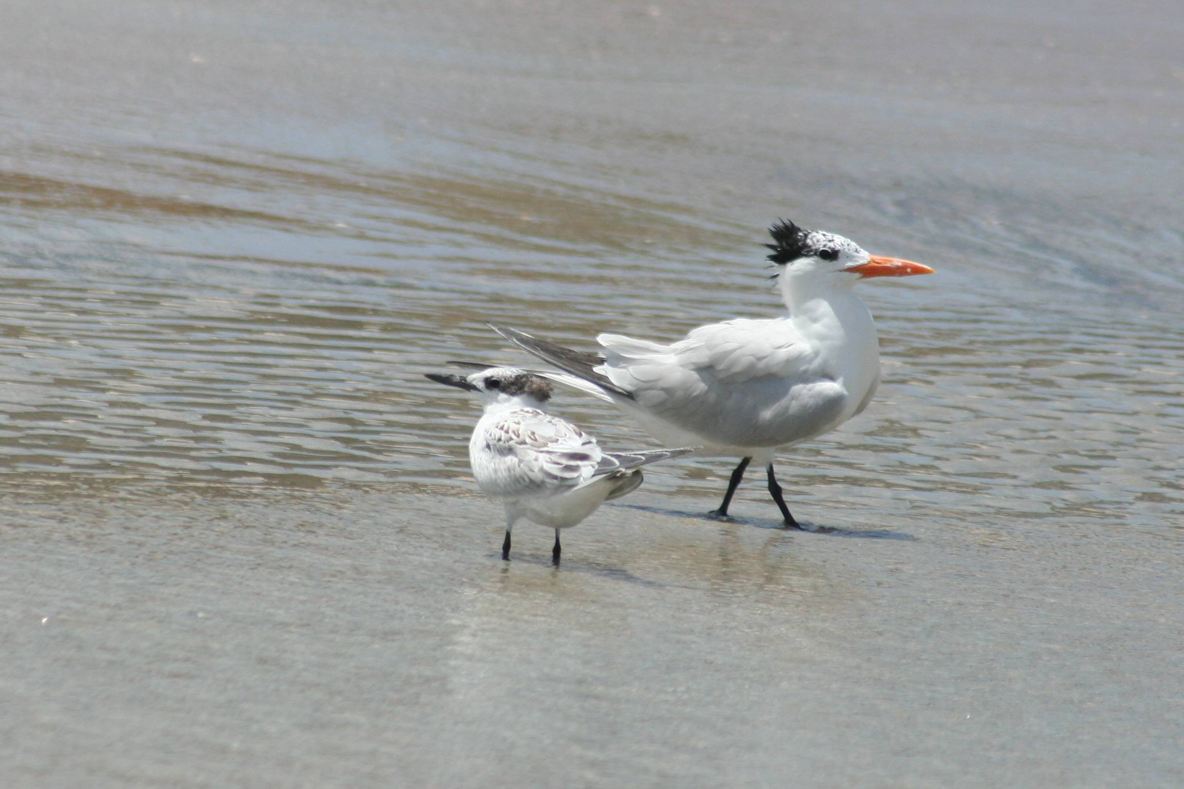 Royal and Common Terns