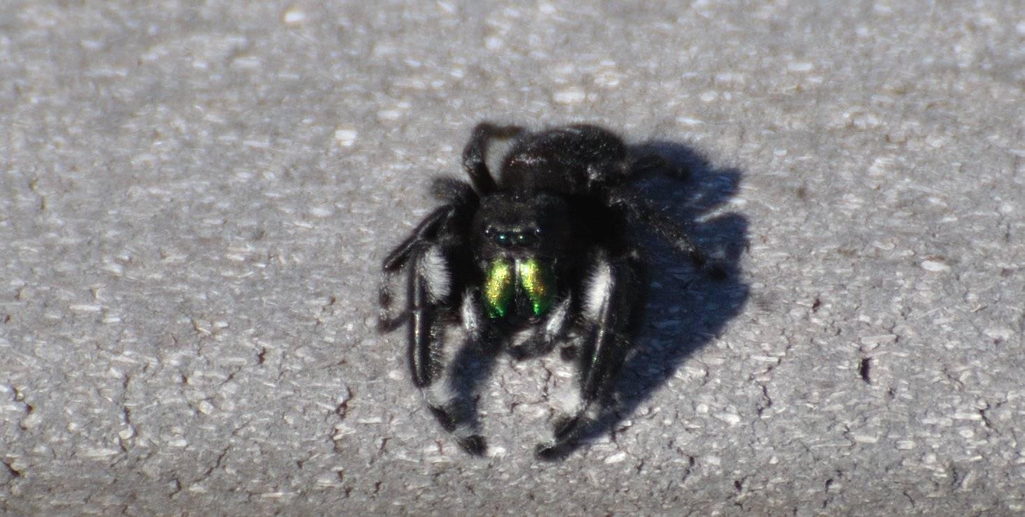 Black w/metallic green fangs