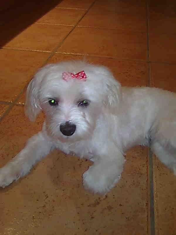 Lola - Maltese