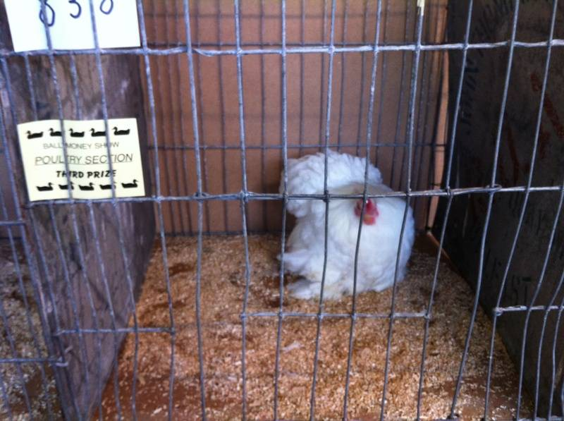 One of my Pekins after Judging