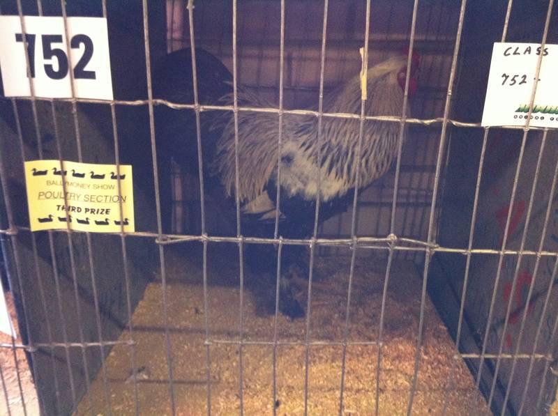 My Dark Brahma Rooster after Judging