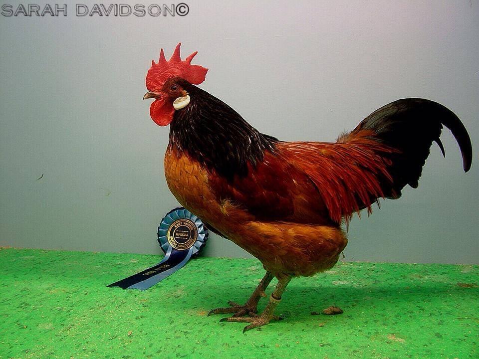 Ballymena poultry Show