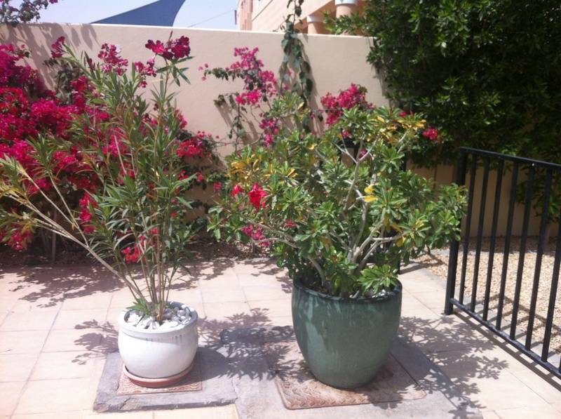 Oleander and Desert Rose