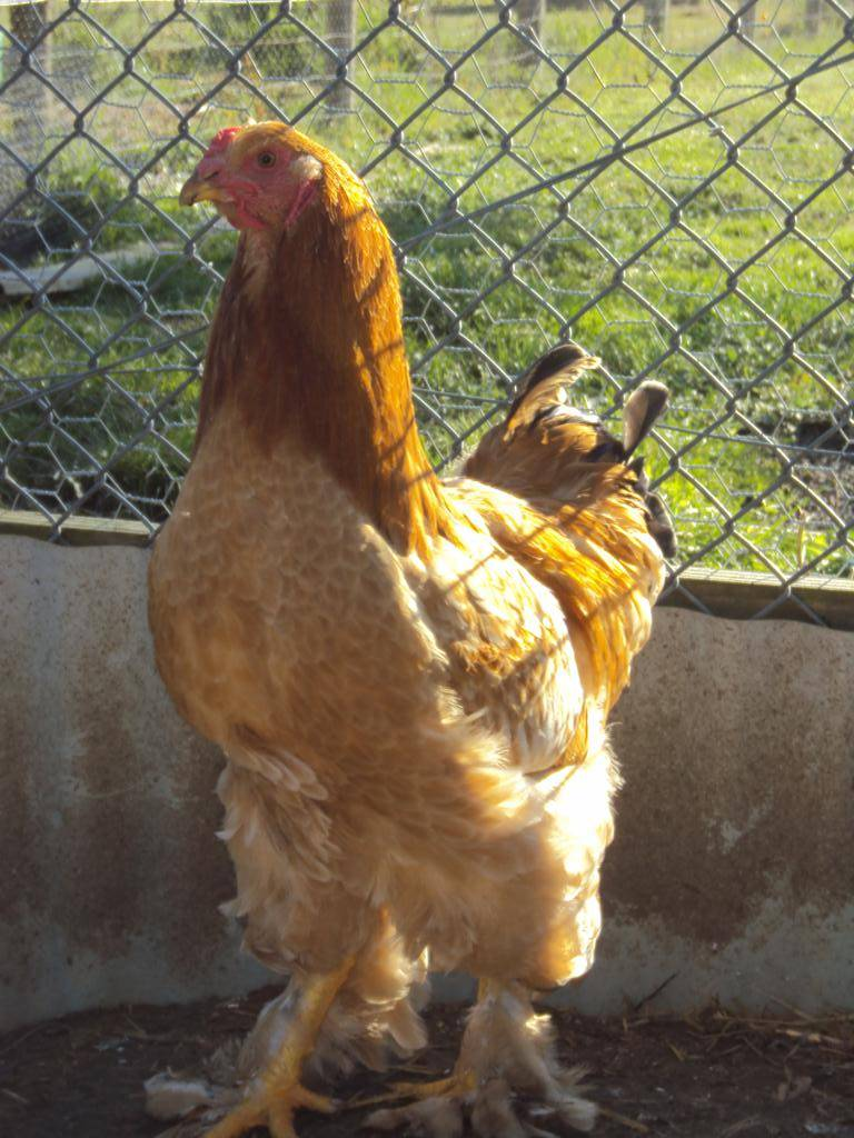 Buff Columbian cockerel