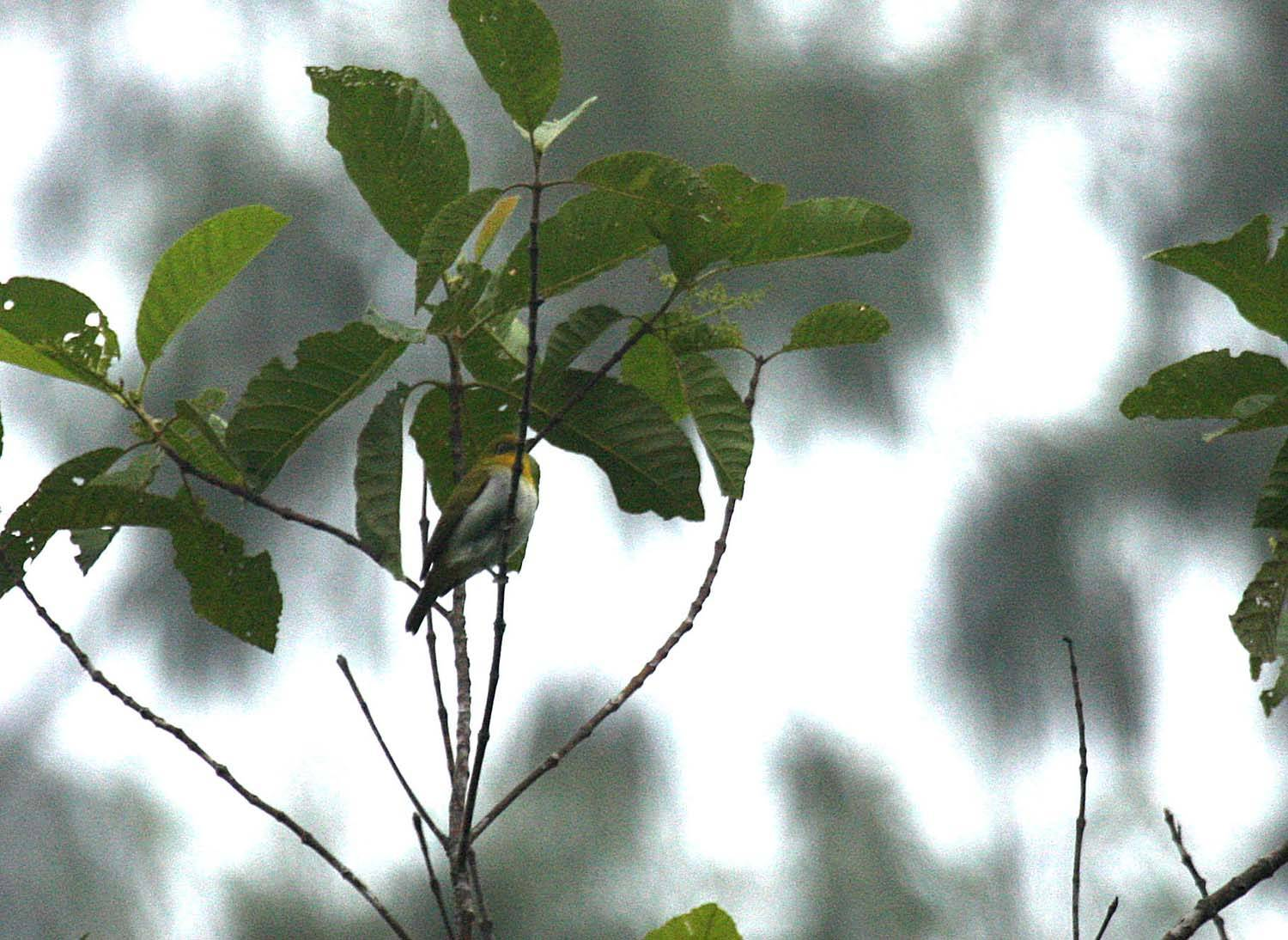 Yellow-throated White-eye