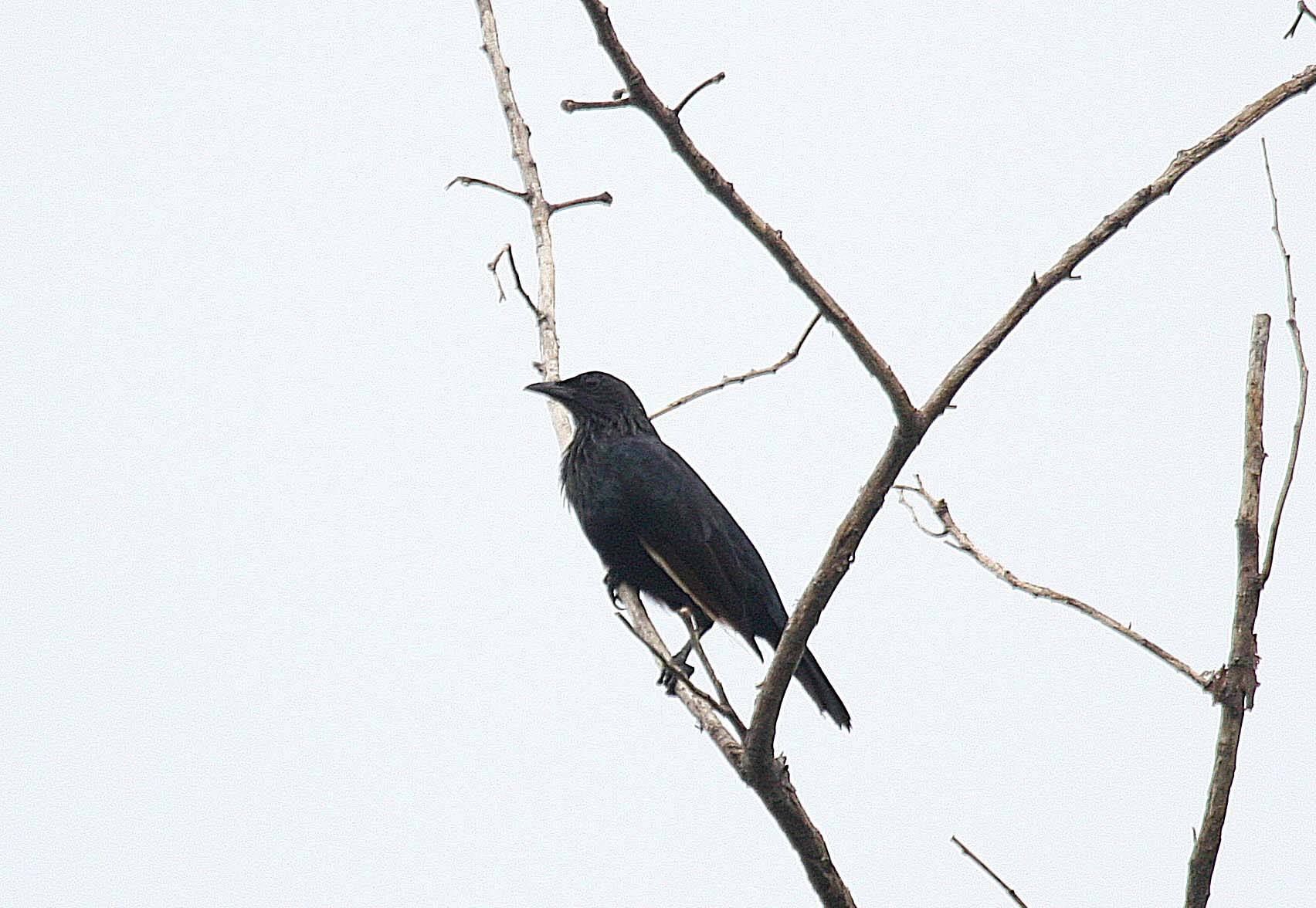 Brown-winged Starling