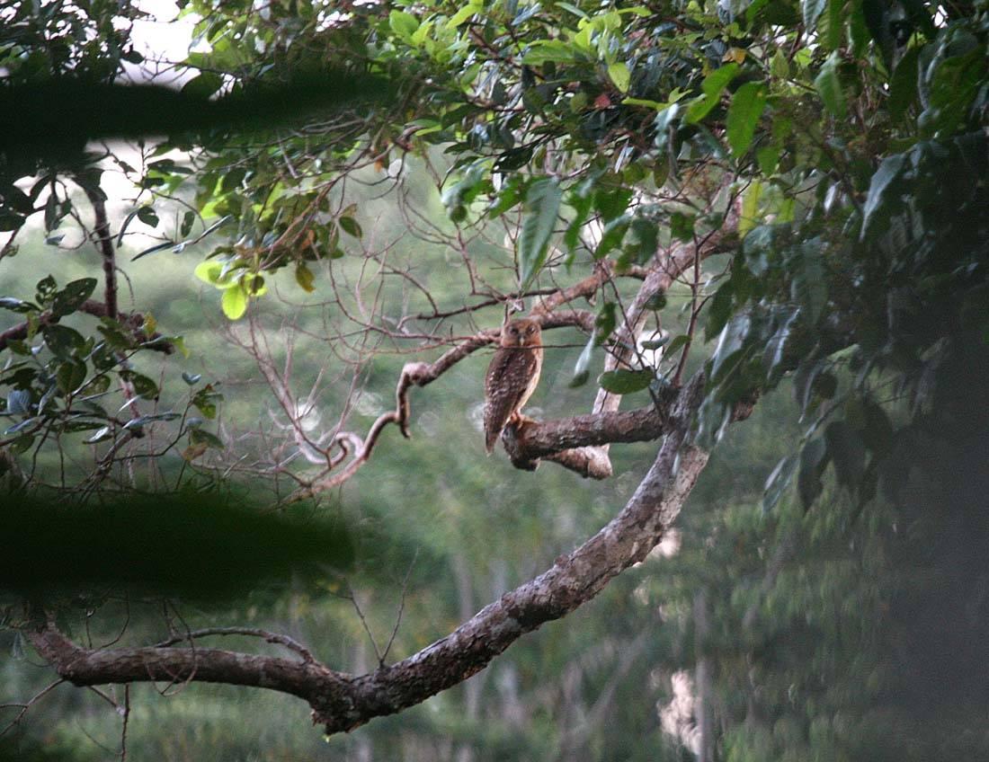 Manus Hawk-Owl or Boobook