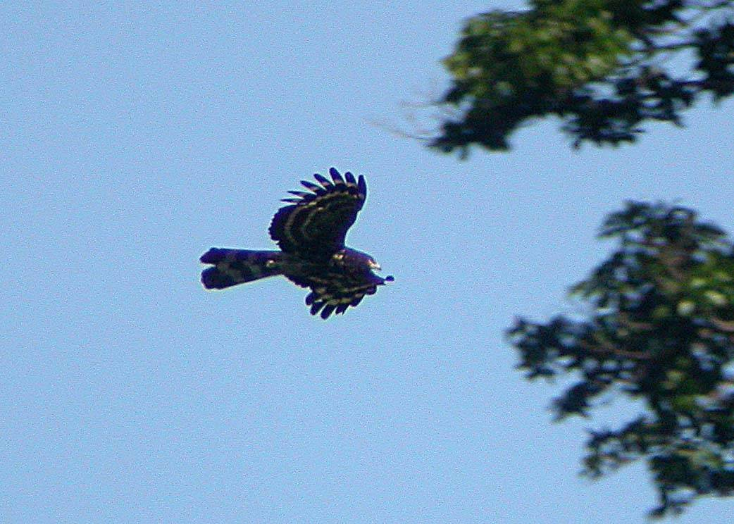 Black Honey-Buzzard