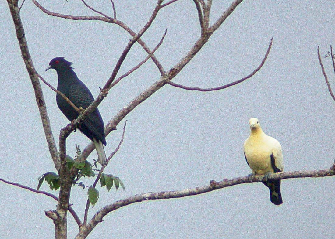 Black and Torresian Imperial-Pigeons