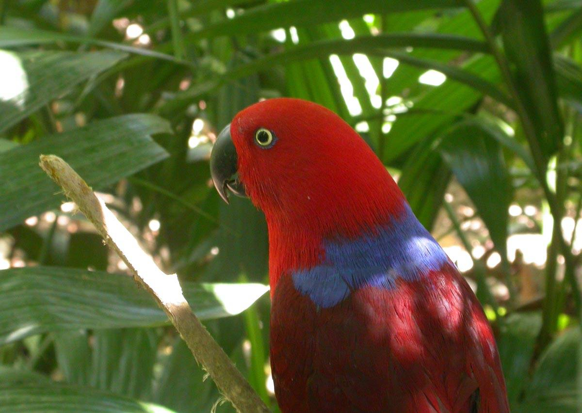 Eclectus Parrot on New Britain