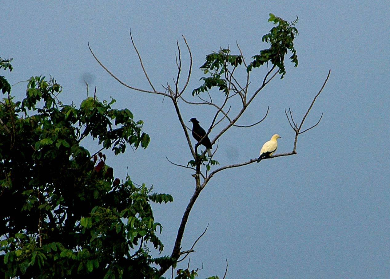 Black or Bismarck Imperial-Pigeon