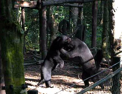 captive bears boxing