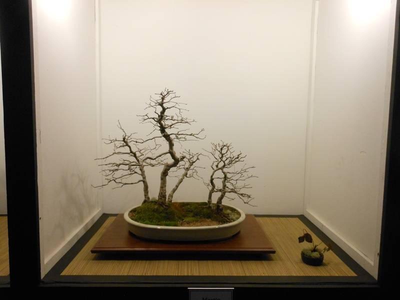 5 Tree Korean Hornbeam Forest