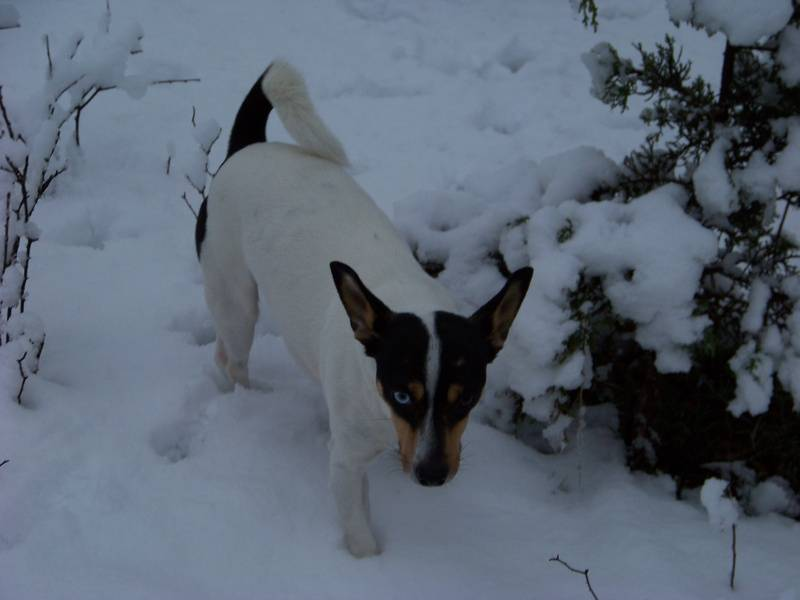 My dog Pokieboy not to happy about winter 2010